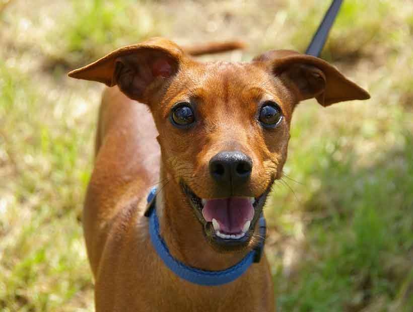 Los perros podrían usar expresiones conscientemente para comunicarse