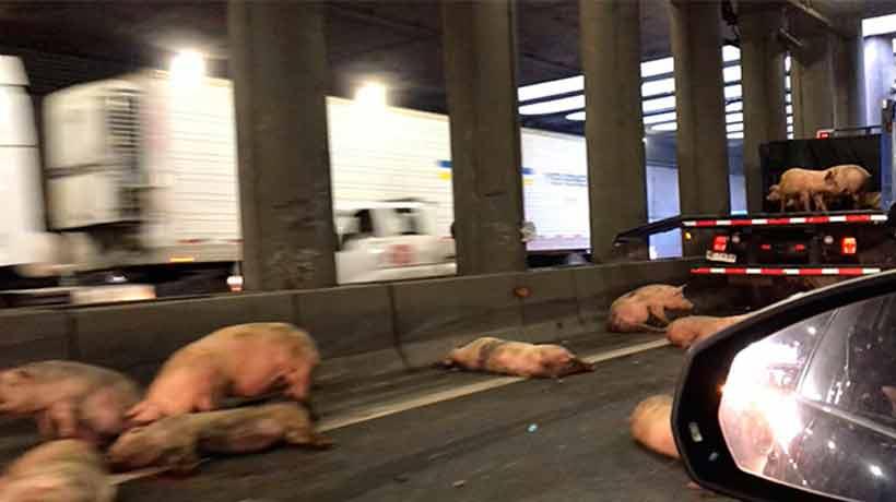 Camión con cerdos sufrió un accidente en la Autopista Central