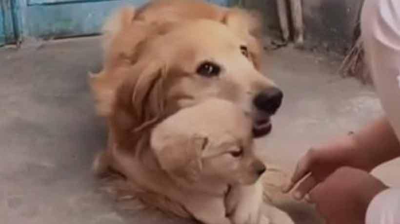 Instinto de madre leona: perra protege a su cachorro y enternece a las redes