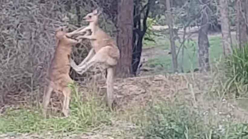 Hombre intervino para separar a dos canguros que peleaban