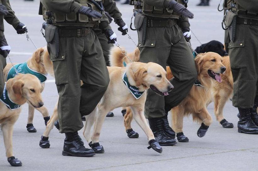 a3ed0d2bc45c Carabineros invita a sumarse a una caminata canina este sábado en ...